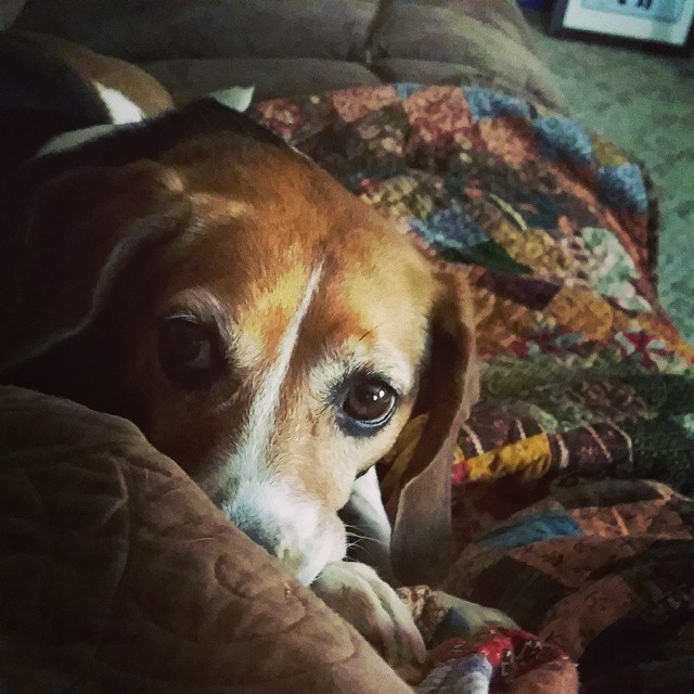 My favorite nurse on a sick day! #joscountryjunction #beaglelove