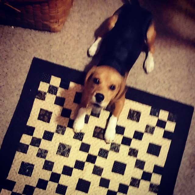 Betsy is showing off tomorrow's free quilt pattern . What a cutie!  #joscountryjunction  #betsythebeagle  #freequiltpattern #beaglelove #beagle  #quilting