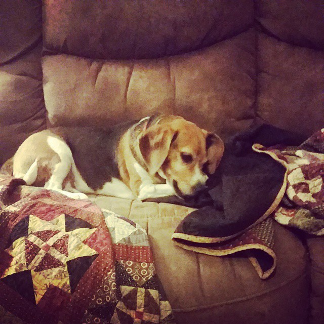 Enjoying a little rawhide! #joscountryjunction #beaglelove