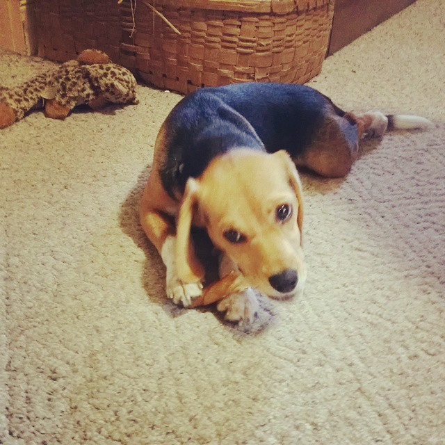 It's time for a bone break. #joscountryjunction #betsythebeagle  #beaglelove  #beagle