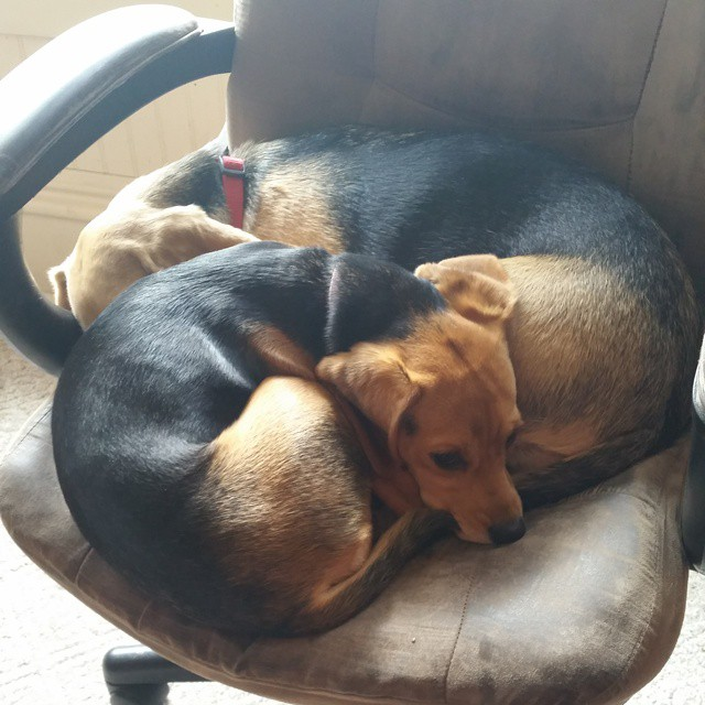 Are little Betsy the beagle is getting bigger. Before 2 long the two beagles won't be able to fit in the same chair. #bestofficeworkers #joscountryjunction. #beaglelove  #beagle