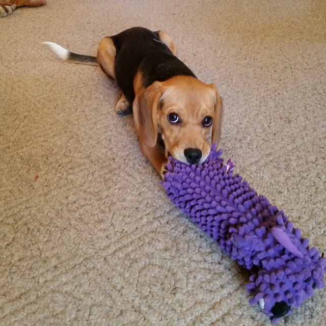 The beagles got a new toy! Betsy loves it.  #joscountryjunction  #beaglelove  #beagle