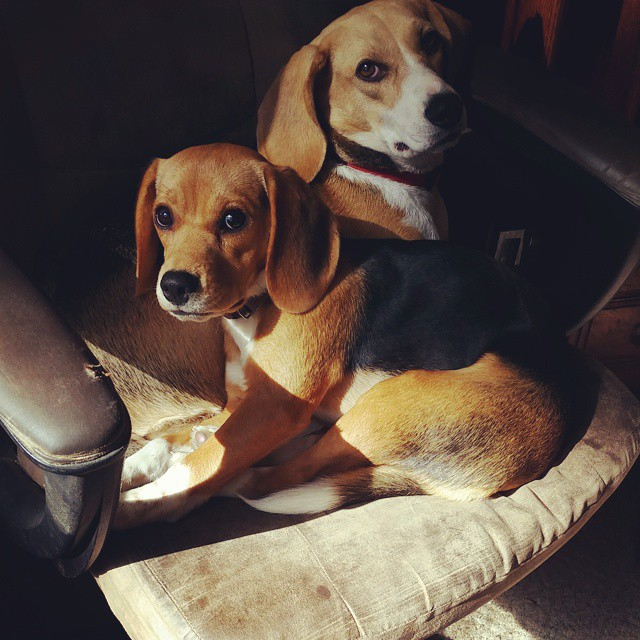 Best buddies.. #joscountryjunction  #beaglelove  #bestofficeworkers