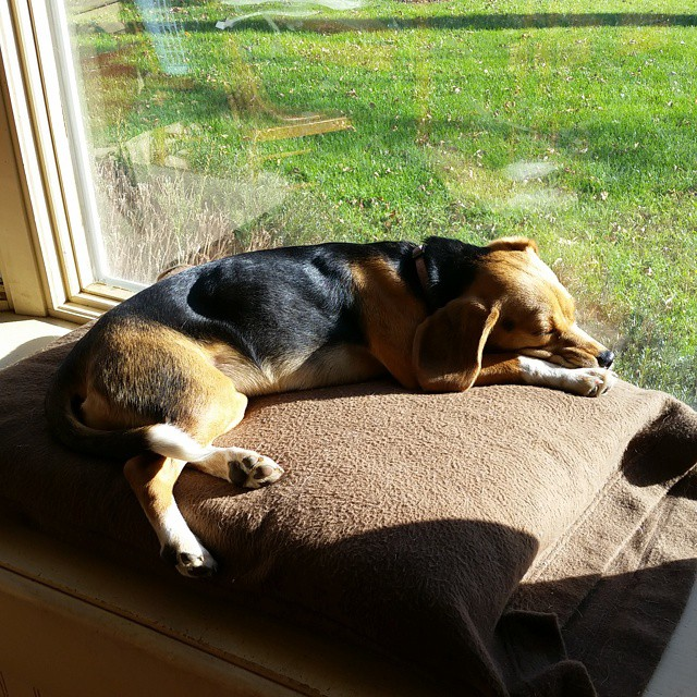 She's sunning herself.  #beaglelove  #beagle  #joscountryjunction