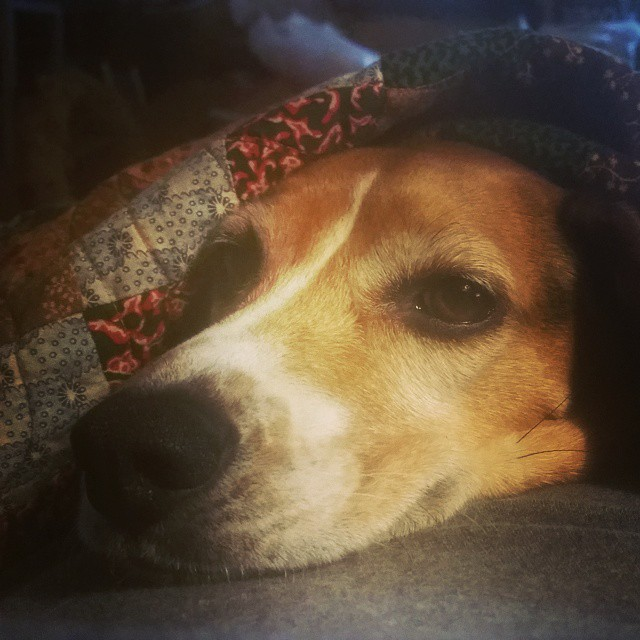 The best dog that money can buy! #joscountryjunction #beaglelove