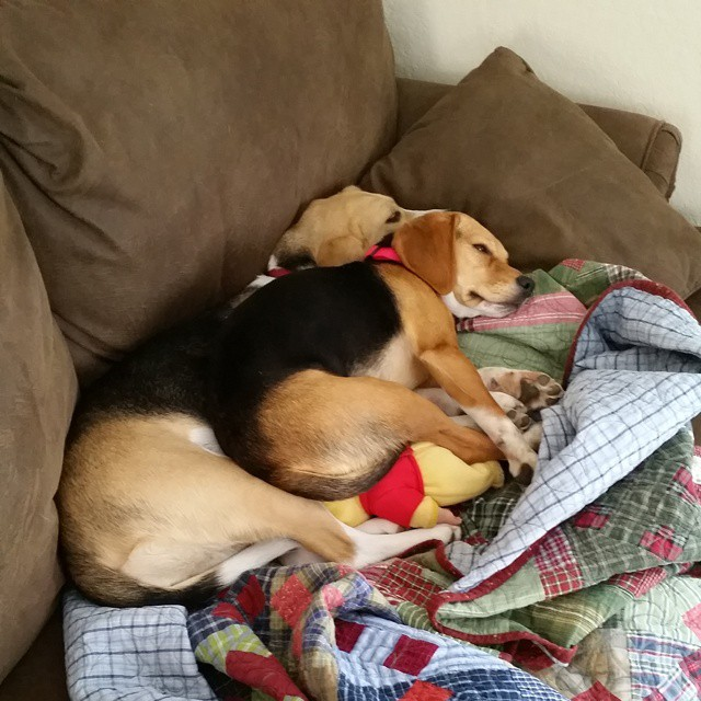Nap time for beagles.  #joscountryjunction #beaglelove