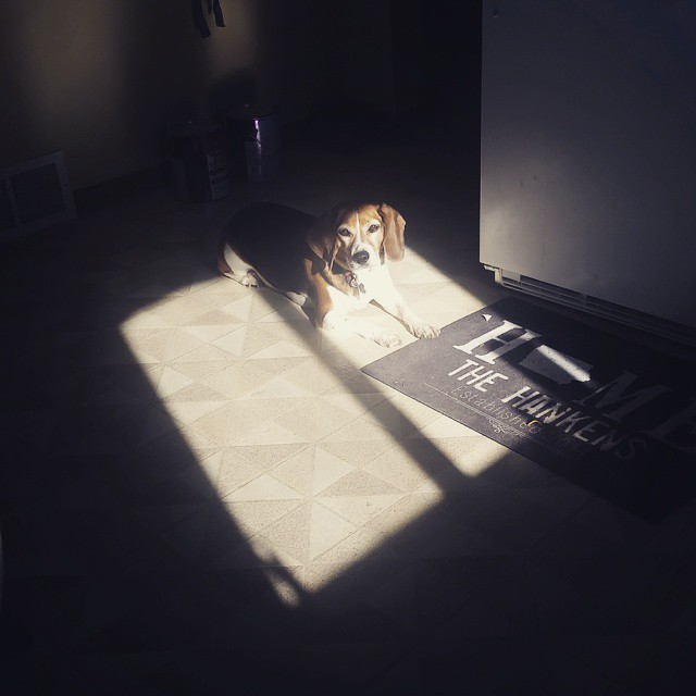 I love how she moves through the kitchen to sun herself! #joscountryjunction #beaglelove #adventuresofpuppycat