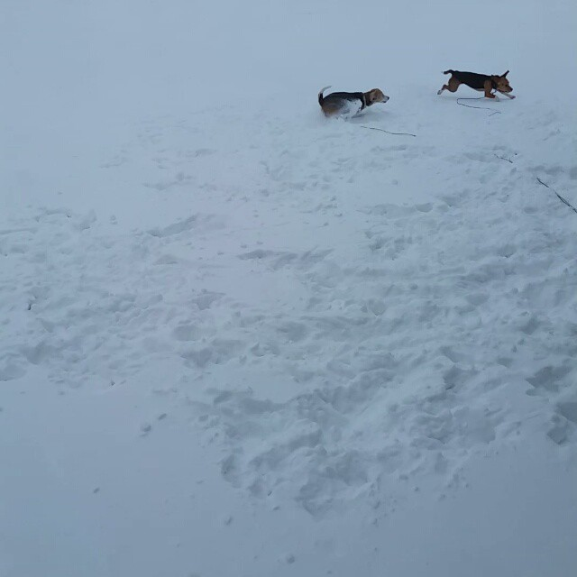 At least someone is enjoying the 7+ inches of snow we got overnight and this morning!!! #beaglelove
