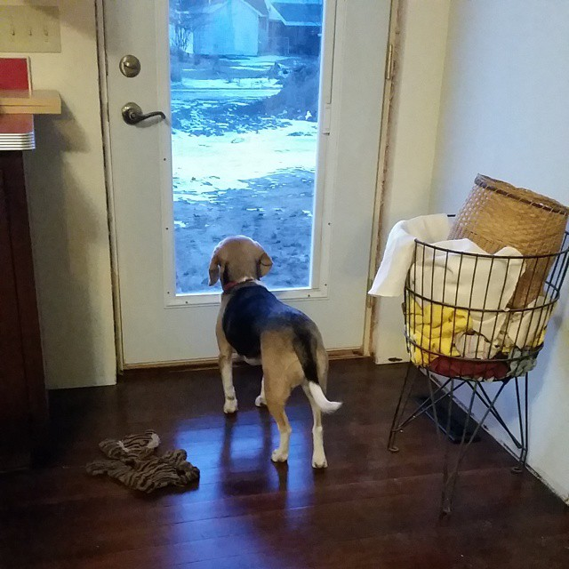 Rudy's favorite place at the new house is looking out the kitchen door.  #joscountryjunction #beaglelove