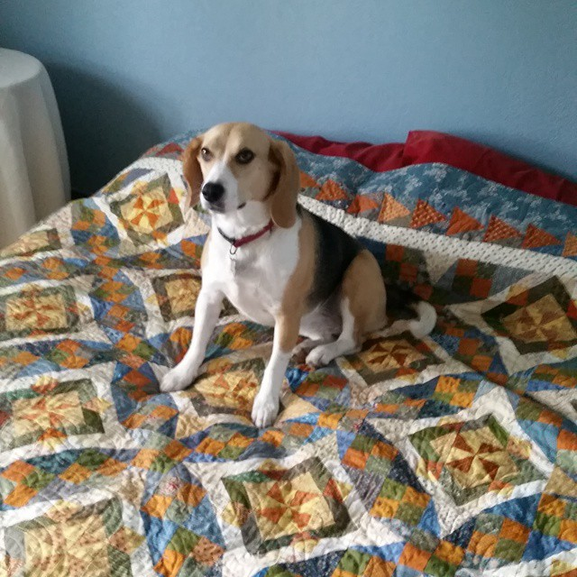 Ruby is just up from a nap.  Me, I was quilting.  #joscountryjunction  #beaglelove