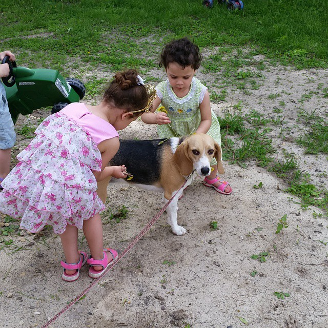 Ruby is getting decorated with dandelions and grass.  #joscountryjunction #beaglelove